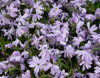 Phlox subulata 'Emerald Cushion Blue' - vlambloem