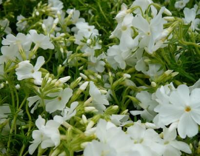 Phlox subulata 'Maischnee' - vlambloem