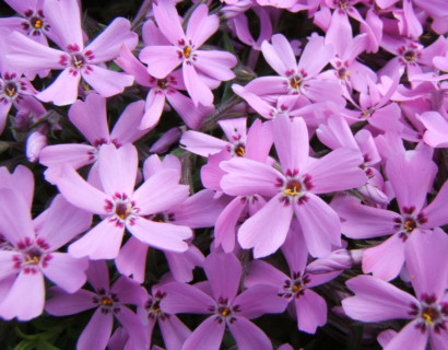 Phlox subulata 'Purple Beauty' - vlambloem