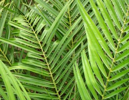 Phoenix roebelenii - dwergdadelpalm