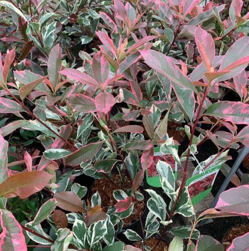Photinia fraseri 'Pink Marble' - glansmispel