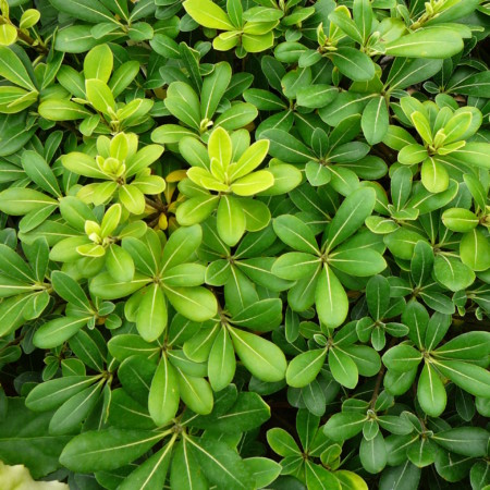 Pittosporum tobira 'Nana' - Australische laurier