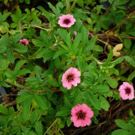 Potentilla nepalensis 'Miss Willmott' - ganzerik