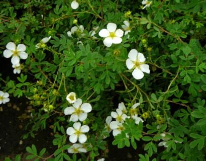 Potentilla fruticosa 'Abbotswood' - ganzerik