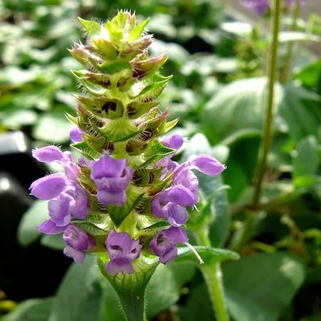 Prunella grandiflora - bijenkorfje