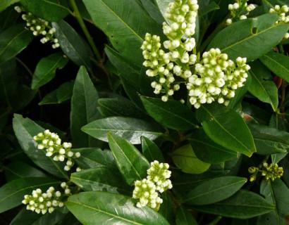 Prunus laurocerasus 'Otto Luyken' pot 3 liter 25/30 - laurierkers