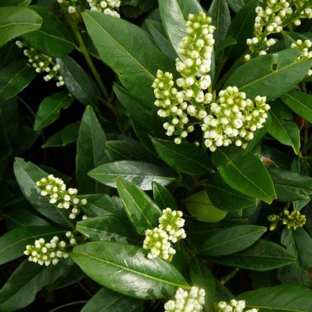 Prunus laurocerasus 'Otto Luycken' pot 2 liter