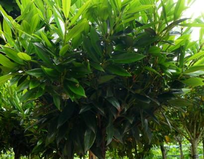 Prunus laurocerasus 'Otto Luycken' hoogstam bolvorm - bolprunus, laurierkers hoogstam bolvorm