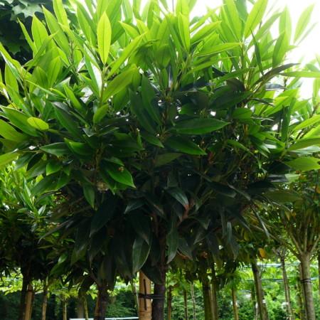 Prunus laurocerasus 'Otto Luycken' - bolprunus, laurierkers bolvorm