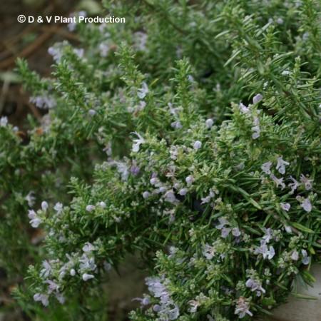 Rosmarinus officinalis prostratus repens - kruipende rozemarijn