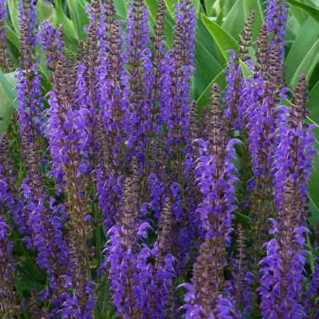 Salvia nemorosa 'Mainacht' - salie