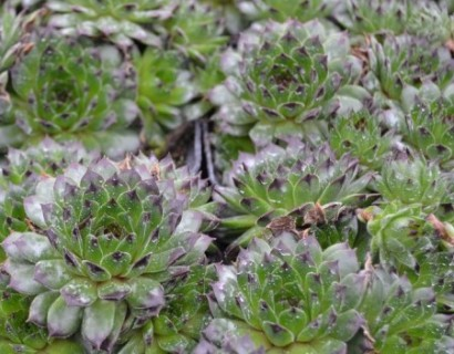 Sempervivum 'Black Top' - huislook