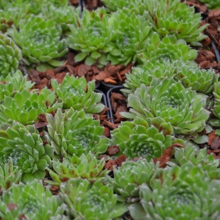 Sempervivum 'Kramer's Spinrad' - huislook