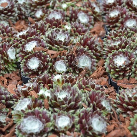 Sempervivum 'Silberring' - huislook