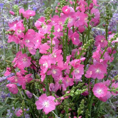 Sidalcea 'Rosy Gem' - griekse malva