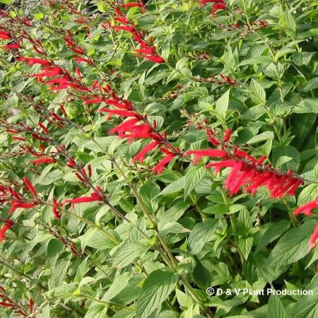 Salvia elegans 'Scarlet Pineapple' - ananassalie