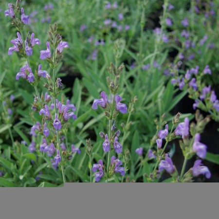 Salvia lavandulifolia - Spaanse salie