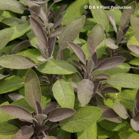 Salvia officinalis 'Purpurescens' - paarse salie