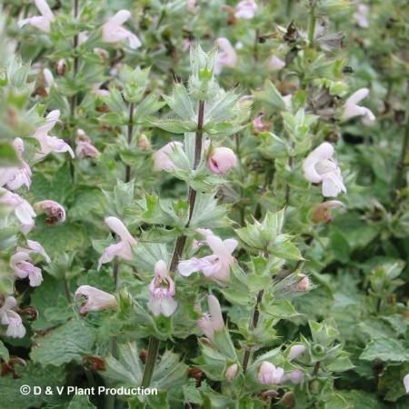 Salvia taraxifolia - citroensalie