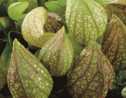 Sarracenia psittacina - vleesetende moerasplant
