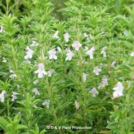 Satureja montana - winterbonenkruid