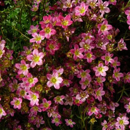 Saxifraga arendsii 'Purperteppich' - steenbreek