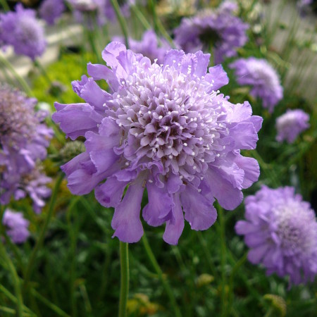 Scabiosa columbaria 'Butterfly Blue' (grote pot) - duifkruid
