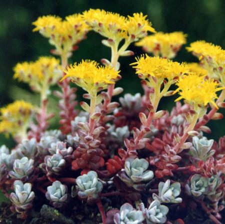 Sedum spathulifolium 'Purpureum' - vetkruid