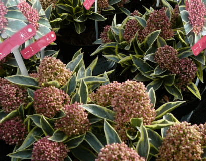 Skimmia japonica 'Magic Marlot' - skimmia