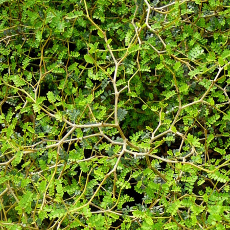 Sophora prostrata 'Little Baby' - tempelboom