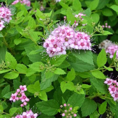 Spiraea japonica 'Little Princess' - spierstruik