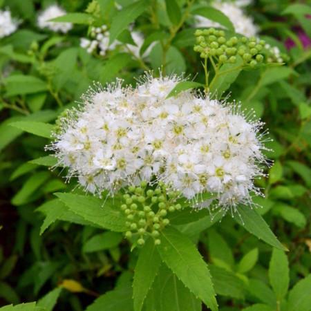 Spiraea japonica 'Albiflora' - spierstruik