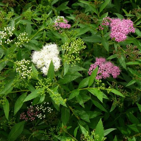 Spiraea japonica 'Shirobana' of 'Genpei' - spierstruik