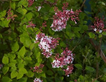 Syringa microphylla 'Superba' - kleinbloemige sering, kruidnagel