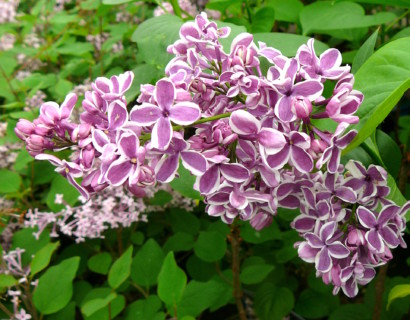 Syringa vulgaris 'Sensation' - sering, kruidnagel