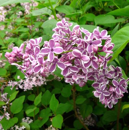 Syringa vulgaris 'Sensation' - sering, kruidnagel