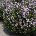 Plant de kruiden rozemarijn, tijm en salie in uw tuin.