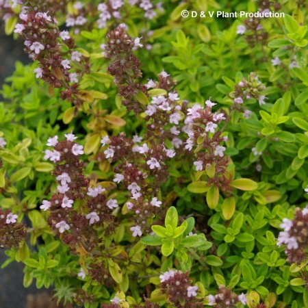 Thymus citriodorus 'Aureus' - gele tijm