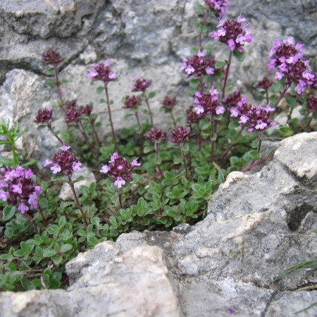 Thymus praecox 'Coccineus' - kruiptijm
