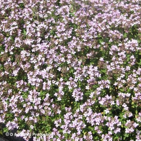 Thymus vulgaris 'Compactum' - compacte tijm