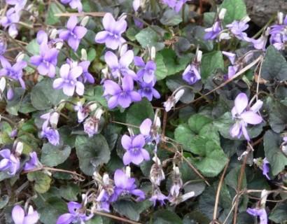Viola labradorica pot 2 liter - viooltje