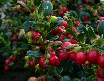 Vaccinium vitis-idaea 'Red Candy' - rode vossebes