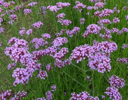 Verbena bonariensis pot 2 liter - ijzerhard