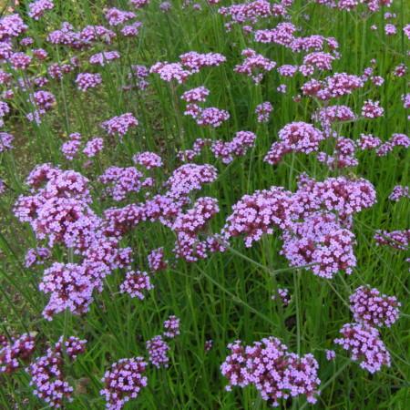 Verbena bonariensis (grote pot) - ijzerhard