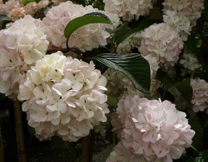 Viburnum plicatum 'Pink Sensation' op stam - sneeuwbal