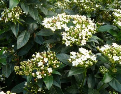 Viburnum tinus pot 3 liter - sneeuwbal