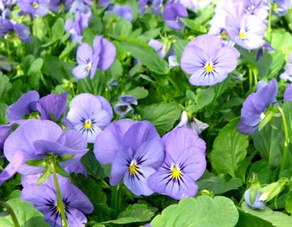 Viola cornuta 'Velour Blue' - viooltje