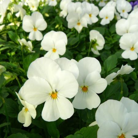 Viola cornuta 'Velour White' - viooltje
