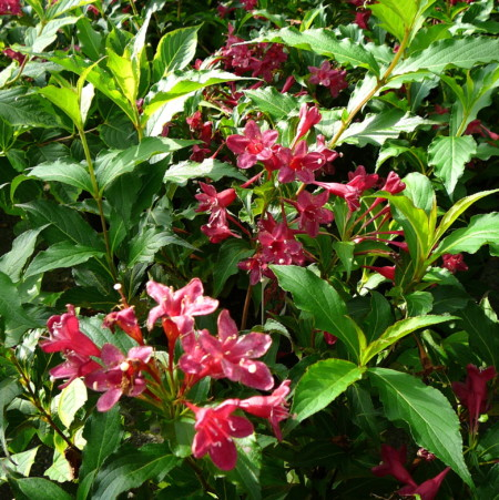 Weigela florida 'Red Prince' - weigela