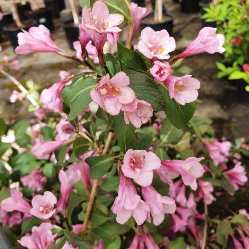 Weigela florida 'Purpurea' - weigela